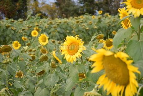 11月の向日葵の写真素材 [FYI03431924]