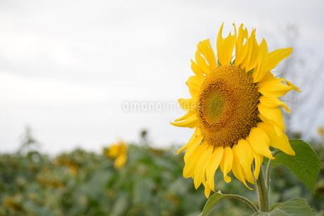 11月の向日葵の写真素材 [FYI03431927]