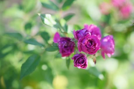 バラ写真 花写真素材の写真素材 [FYI03432018]