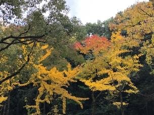 黄色く小枝が伸びて黄葉するイチョウの写真素材 [FYI03432368]