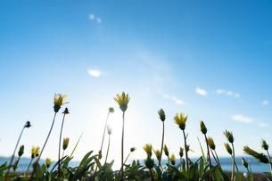 海辺の花の写真素材 [FYI03432369]