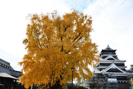 熊本城と大銀杏の写真素材 [FYI03432461]