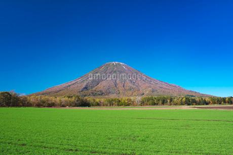 羊蹄山と秋まき小麦の写真素材 [FYI03432510]