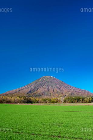 羊蹄山と秋まき小麦の写真素材 [FYI03432512]