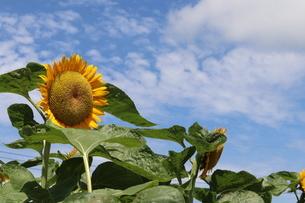 暑い夏と向日葵と青い空の写真素材 [FYI03432679]