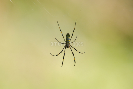 蜘蛛の写真素材 [FYI03432728]