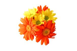 ガーベラと菊の花束の写真素材 [FYI03432733]