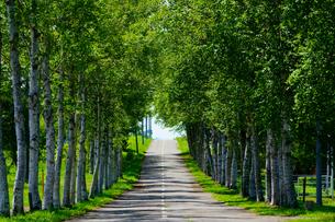 白樺の並木道の写真素材 [FYI03432747]
