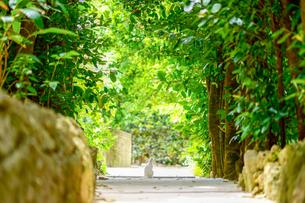 フクギ並木と白猫の写真素材 [FYI03432755]