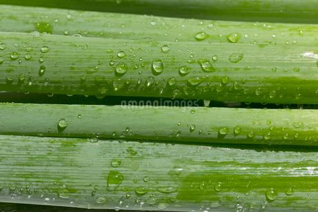 九条ねぎ,京野菜,九条ネギの写真素材 [FYI03433226]
