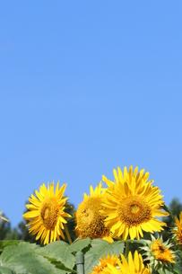 快晴の日のひまわりの写真素材 [FYI03433281]