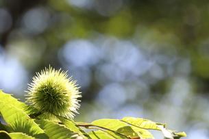 緑のイガグリの写真素材 [FYI03433301]