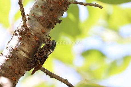 アブラゼミが木にとまっているところの写真素材 [FYI03433315]