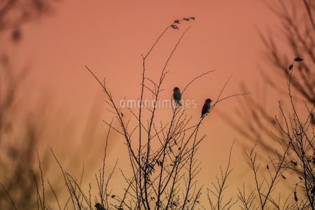 朝焼けと野鳥の写真素材 [FYI03433405]