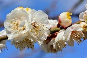 西宮,甲東梅林,梅の花冬至の写真素材 [FYI03433948]