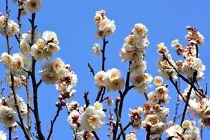 西宮,甲東梅林,冬至の梅の花の写真素材 [FYI03433961]