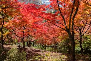 西山公園の紅葉の写真素材 [FYI03434225]
