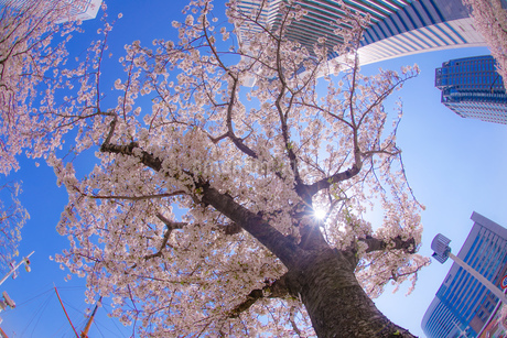 満開の桜と横浜みなとみらいの街並みの写真素材 [FYI03434289]