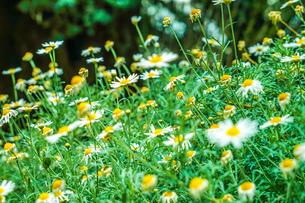 白と黄色の花(デイジー・マーガレット・カモミール)の写真素材 [FYI03434314]