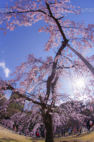 小石川後楽園の枝垂れ桜の写真素材 [FYI03434319]