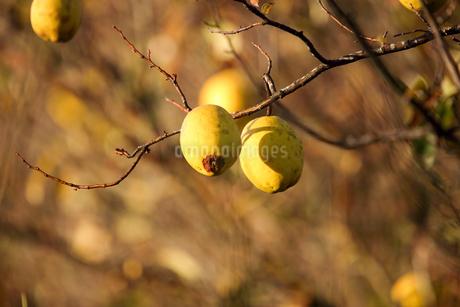 花梨の果実の写真素材 [FYI03434351]
