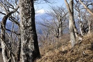 檜洞丸の森からのぞく富士山の写真素材 [FYI03434387]