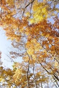 黄葉する木の写真素材 [FYI03434520]