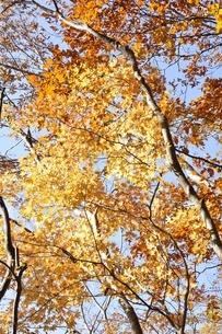 黄葉する木の写真素材 [FYI03434522]