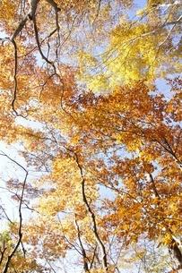黄葉する木の写真素材 [FYI03434523]