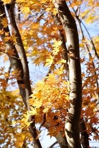 黄葉する木の写真素材 [FYI03434524]