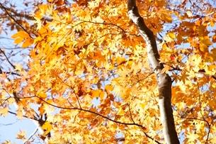 黄葉する木の写真素材 [FYI03434525]