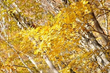 黄葉する木の写真素材 [FYI03434527]