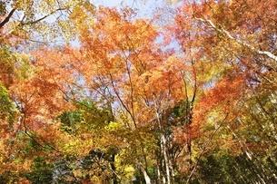 鮮やかな紅葉の写真素材 [FYI03434530]