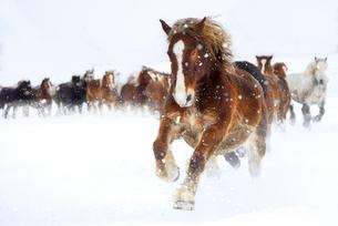 雪原を走る馬の写真素材 [FYI03434567]