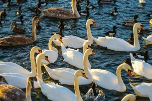 ストックホルム・リラ湖の白鳥郡の写真素材 [FYI03434582]