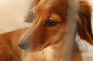 ゲージの中で休憩する犬の写真素材 [FYI03434988]