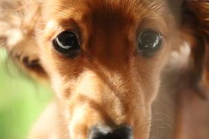 見つめる犬の写真素材 [FYI03435011]