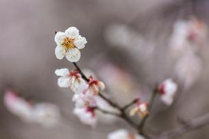梅の花の写真素材 [FYI03435031]