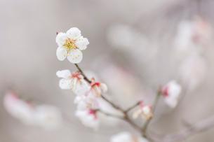 春、梅の花の写真素材 [FYI03435032]