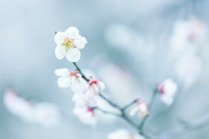 梅の花の写真素材 [FYI03435034]