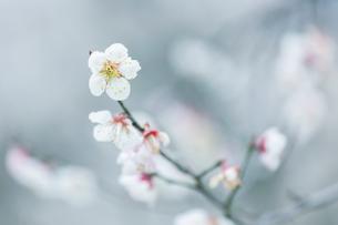 春、梅の花の写真素材 [FYI03435035]