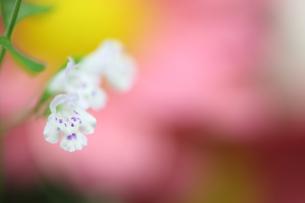 カラミントの花のクローズアップの写真素材 [FYI03435052]