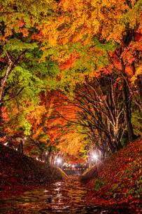 もみじ回廊のライトアップ 富士河口湖町の写真素材 [FYI03435061]