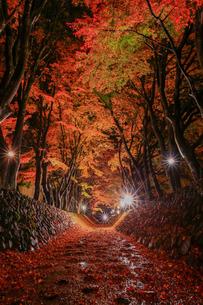 もみじ回廊のライトアップ 富士河口湖町の写真素材 [FYI03435069]