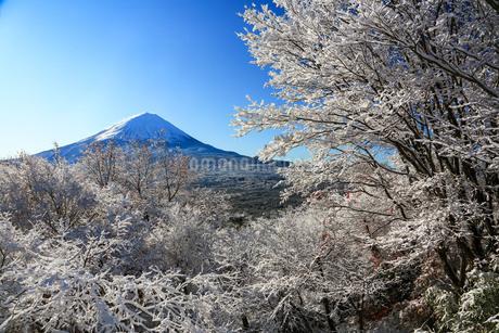 樹氷と富士山 山梨県 鳴沢村の写真素材 [FYI03435071]