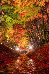 もみじ回廊のライトアップと富士山 富士河口湖町の写真素材 [FYI03435075]
