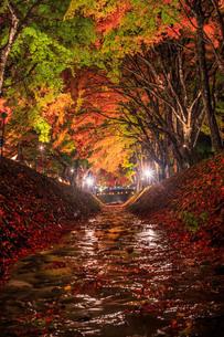 もみじ回廊のライトアップと富士山 富士河口湖町の写真素材 [FYI03435076]