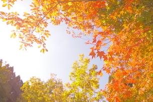 秋晴れの紅葉の写真素材 [FYI03435320]