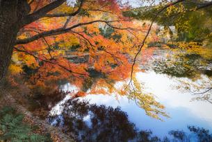龍安寺鏡容池の紅葉の写真素材 [FYI03435329]