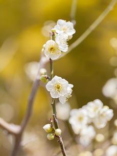 白い梅の花の写真素材 [FYI03435464]